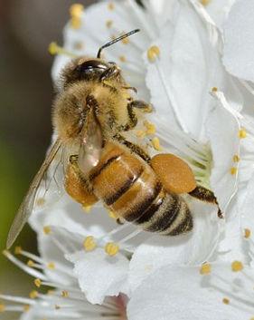 Abeille avec du pollen