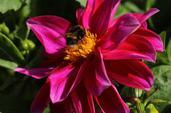le fuschia d'une fleur