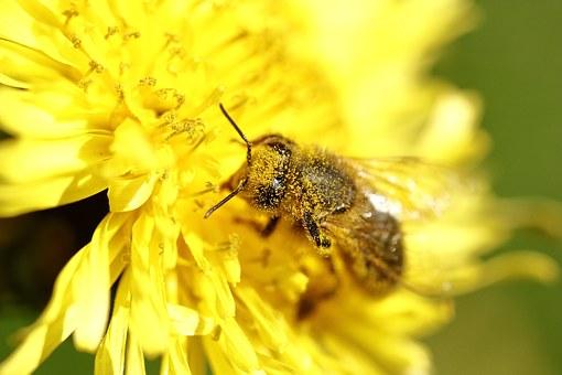 Abeille se couvrant de pollen
