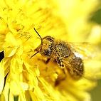 Une abeille sur une feurs de pissenlit
