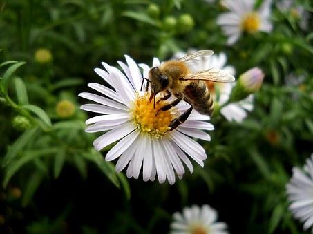Une abeille sur une marguerite