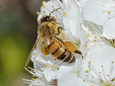 Pollen sur les pattes