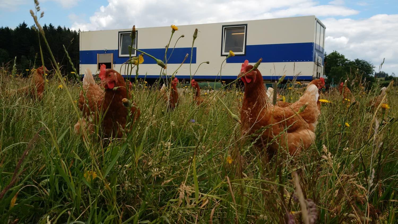 Auf der sommerlichen Hühnerweide.
