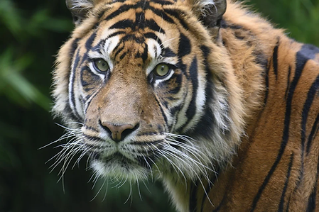 tiger-4458133_960_720.webp
