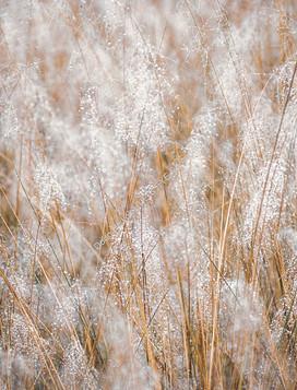 Kiawah Island Grass Dew 02