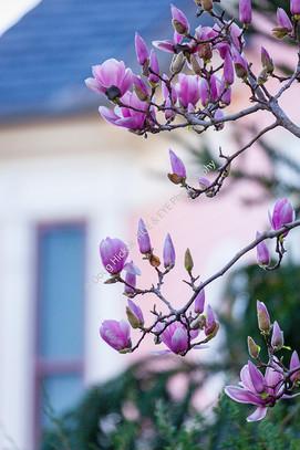 2002 Saucer Magnolias 1