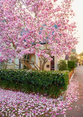 1802 Magnolia Blooms 8