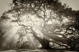 Angel Oak Mist 2