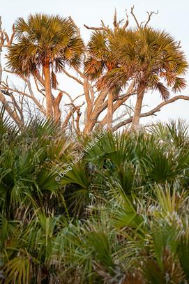 2003 Botany Bay Palmetto Trees