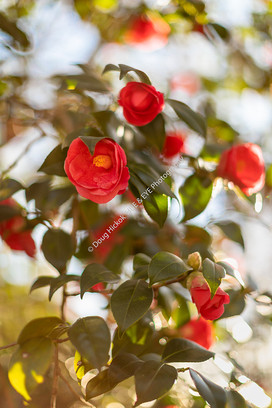 2001 Red Camellia