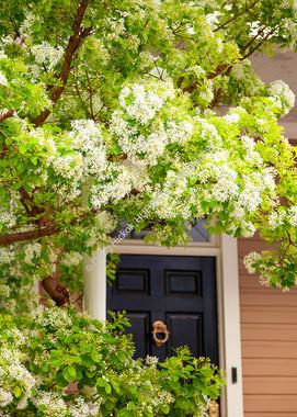 1903 Fringe Tree Blooms