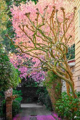 1802 Cherry Tree Blooms 02