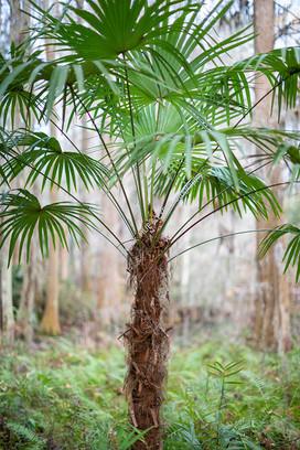 1912 Middleton Palm Tree