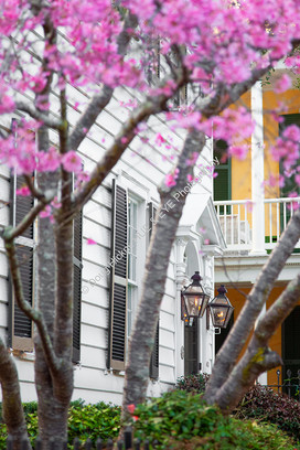 1802 Cherry Tree Blooms 01
