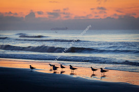 2007 Folly Beach Gulls 01