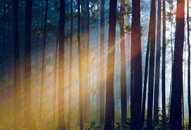 Francis Marion Forest Trees Sunrise-2