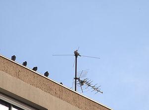 pigeons DK.jpg