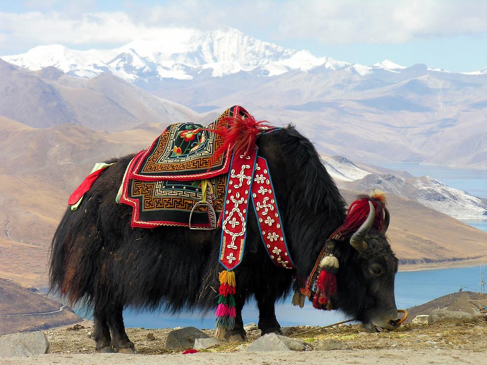yak tibetano con catena montuosa