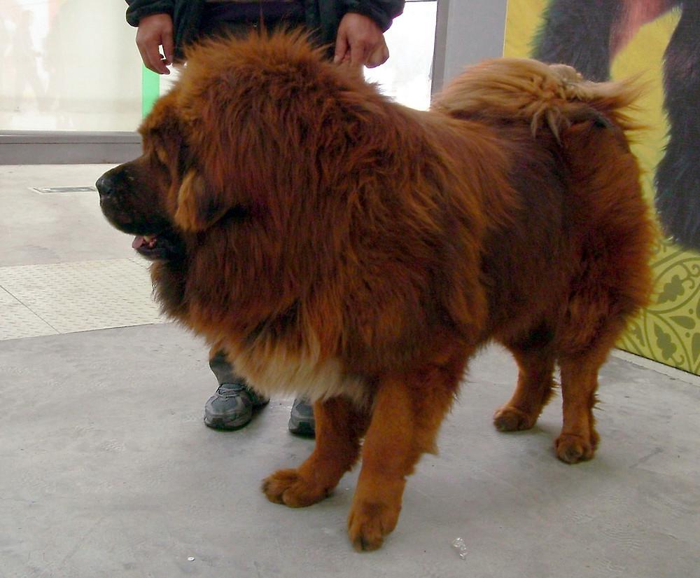 mastino tibetano medie dimensioni