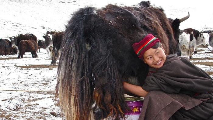 Yak munto da donna tibetana