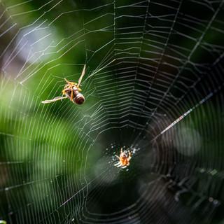 Wespe im Netz