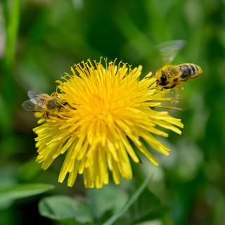 Biene 3_001.jpg