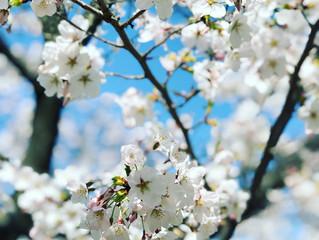 LET'S GO: Japan Cherry Blossom Festival / Winter Illumination
