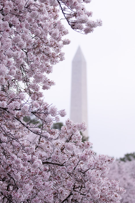 the washington monument framed by the cherry blossoms