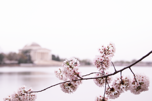 cherry blossoms peaking into frame with the jefferson memorial in the distance