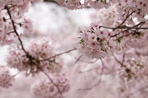 cherry blossom season in d.c.!