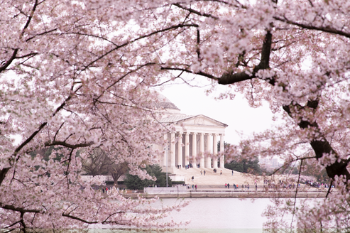 the jefferson memorial framed by the cherry blossoms