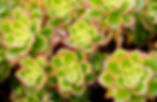 succulent flowers (1 of 1).jpg