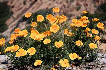 california poppies (1 of 1).jpg