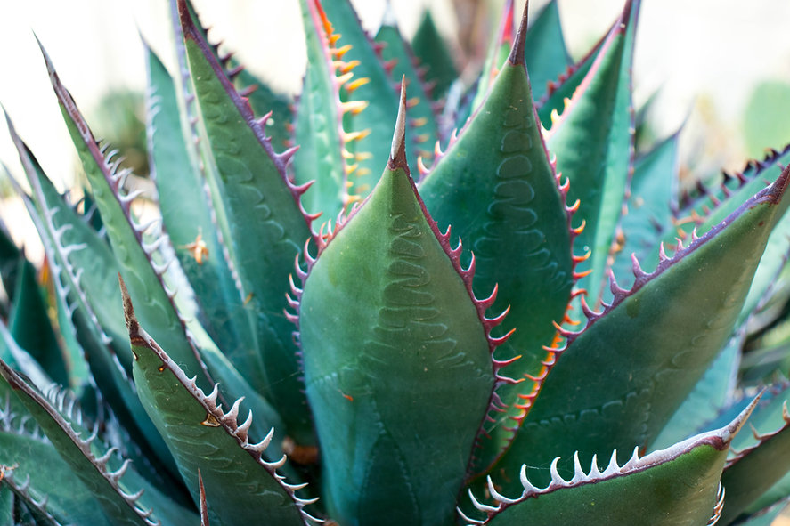 succulent with pink spikes (1 of 1).jpg