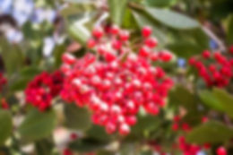 Christmas Berry 2 (1 of 1).jpg