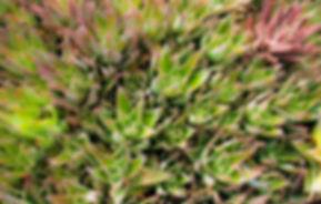 Aloe (1 of 1).jpg
