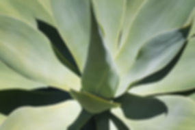 Succulent- Green Agave (1 of 1).jpg
