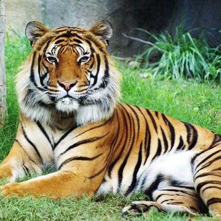 Tigre Malais
