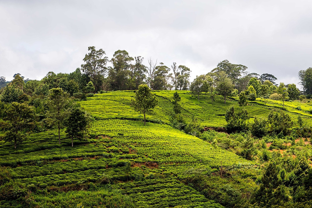 Coonoor Tea Garden Tamil Nadu | Places of Interest near Ooty | Romantic Places near Chennai