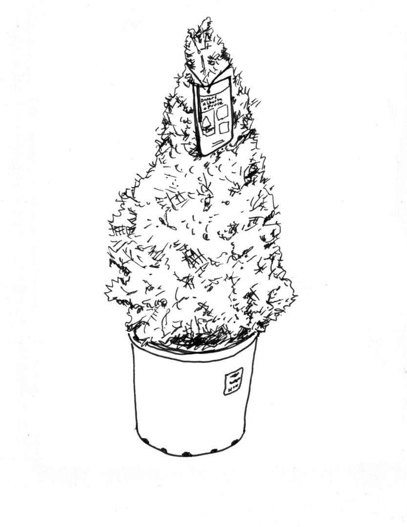 dwarf albert spruce.jpg