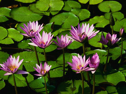 Water+lilies