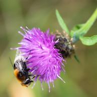 White Tipped Bumblebee