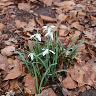 Spring - Snowdrops