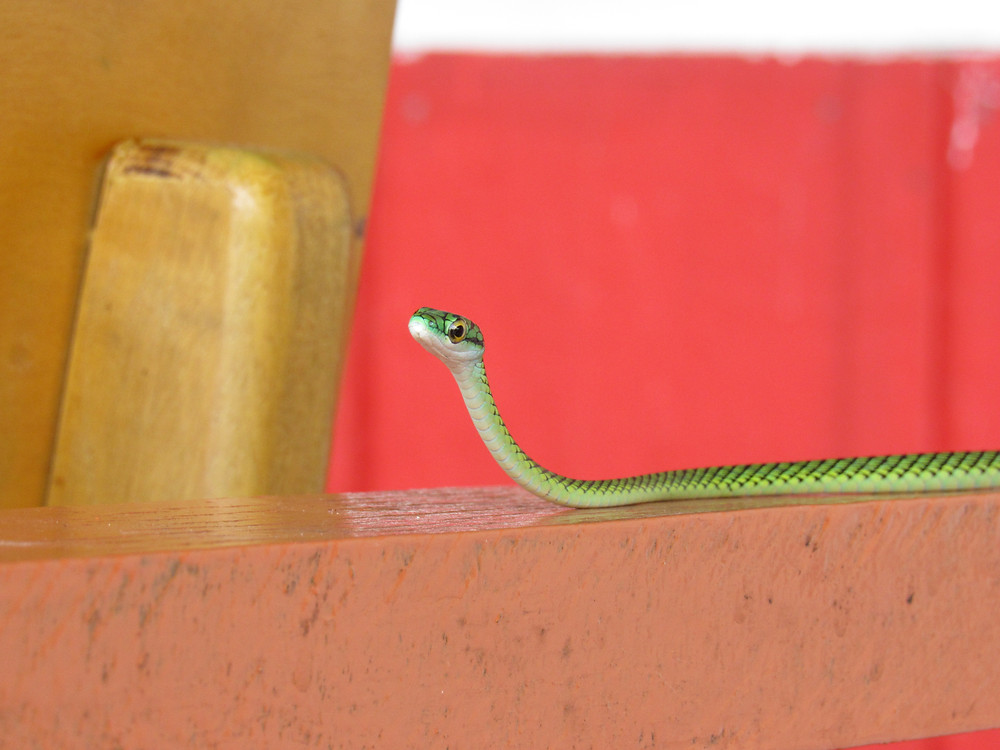 Wild snake in Amazonas Colombia