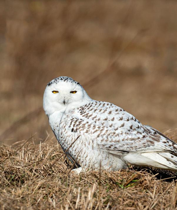 Snowy Owl_08.jpg