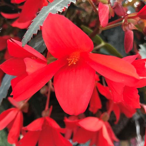 Begonia Million Kisses