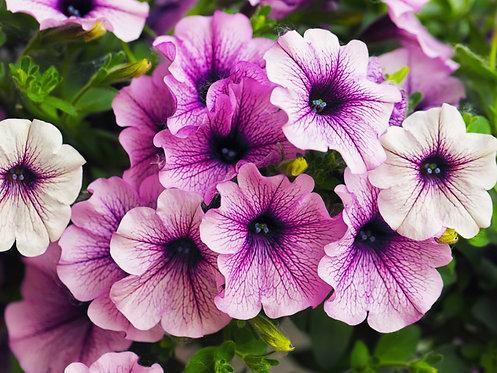 Petunia Single Flower