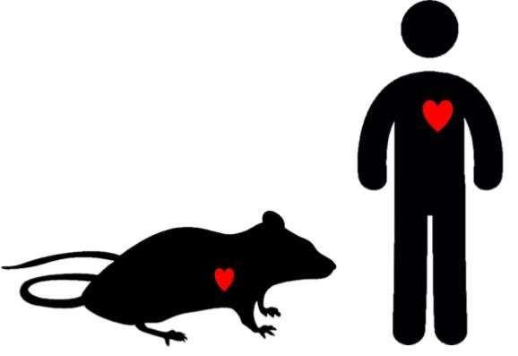 الفئران وفشل القلب