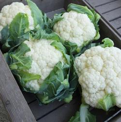 Cauliflower Synergy F1