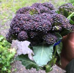 Broccoli Burgundy F1